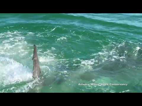 Great white shark eats seal off coast of Cape Cod