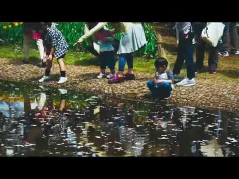 Tulips in Showa Memorial Park 昭和記念公園のチューリップ (Film look)