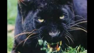 vuclip panthère noire