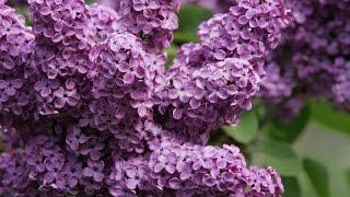 видео Как вырастить магнолию в своем саду? Знает GreenMarket!