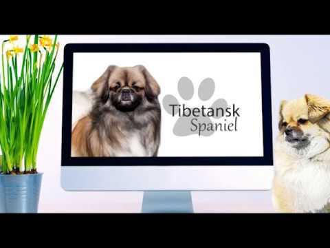 Tibetansk Spaniel- Hunderase