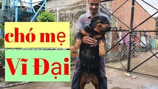 Lên địa đạo Củ Cнi bắt đàn chó rottweiler khủng khiếp và chó Akita inu , zalo 0766778880