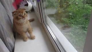 Шотландский вислоухий котенок в любимцы.
