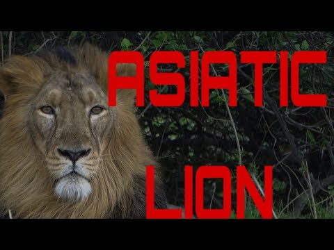 Download Lion and lioness love in jungle// lion mating //sasan gir forest  //gir safari