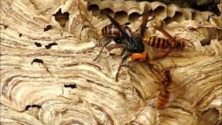 オオスズメバチVSキイロスズメバチ・大雀蜂 対 黄色雀蜂・・No1・弱肉強食の世界Nowha