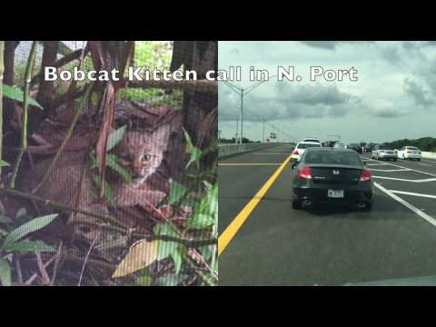 Bobcat Kitten North Port