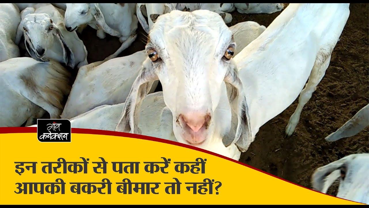 कहीं आपकी बकरी बीमार तो नहीं? II Goat Diseases: Signs and Symptoms