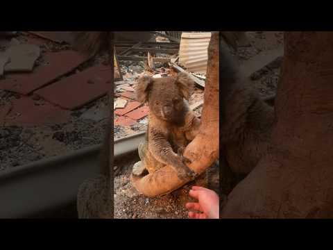 'Singed' Koala Rescued From Kangaroo Island Home Destroyed By Bushfires