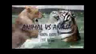 Бои хищников животных!Драка!