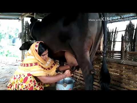 How to milk a cow by hand | Women first time cow milking