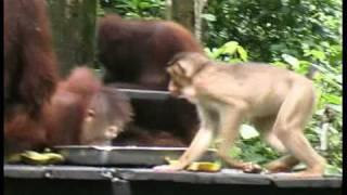 Orangutans dig music