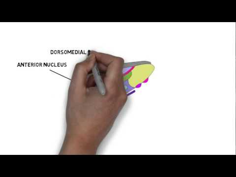 2-Minute Neuroscience: The Thalamus