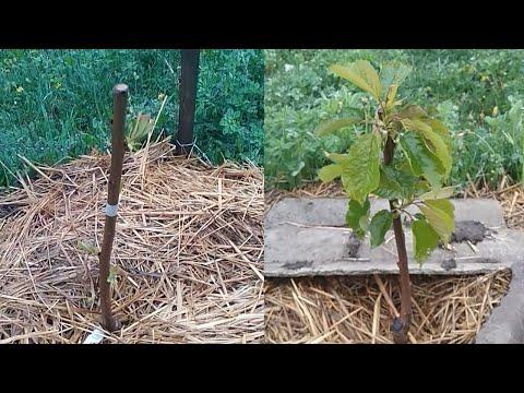 Посадка черешни осенью и весной - наглядный пример | посадить | черешня | черешню | черешни | посадка | пример | осенью | весной | как