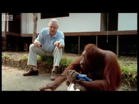 Attenborough: Amazing DIY Orangutans | BBC Earth