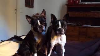Fenway & Minnie Boston Terrier listening to me
