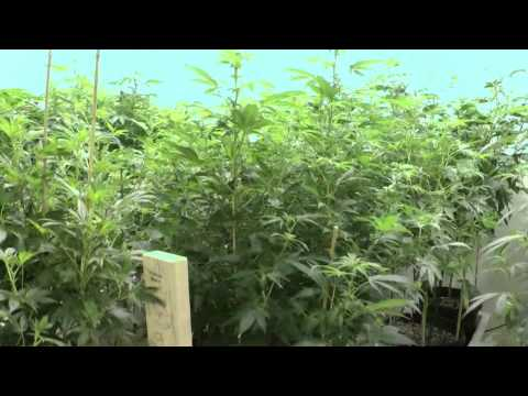 Denver Colorado Mega Marijuana Bud Factory Room 2