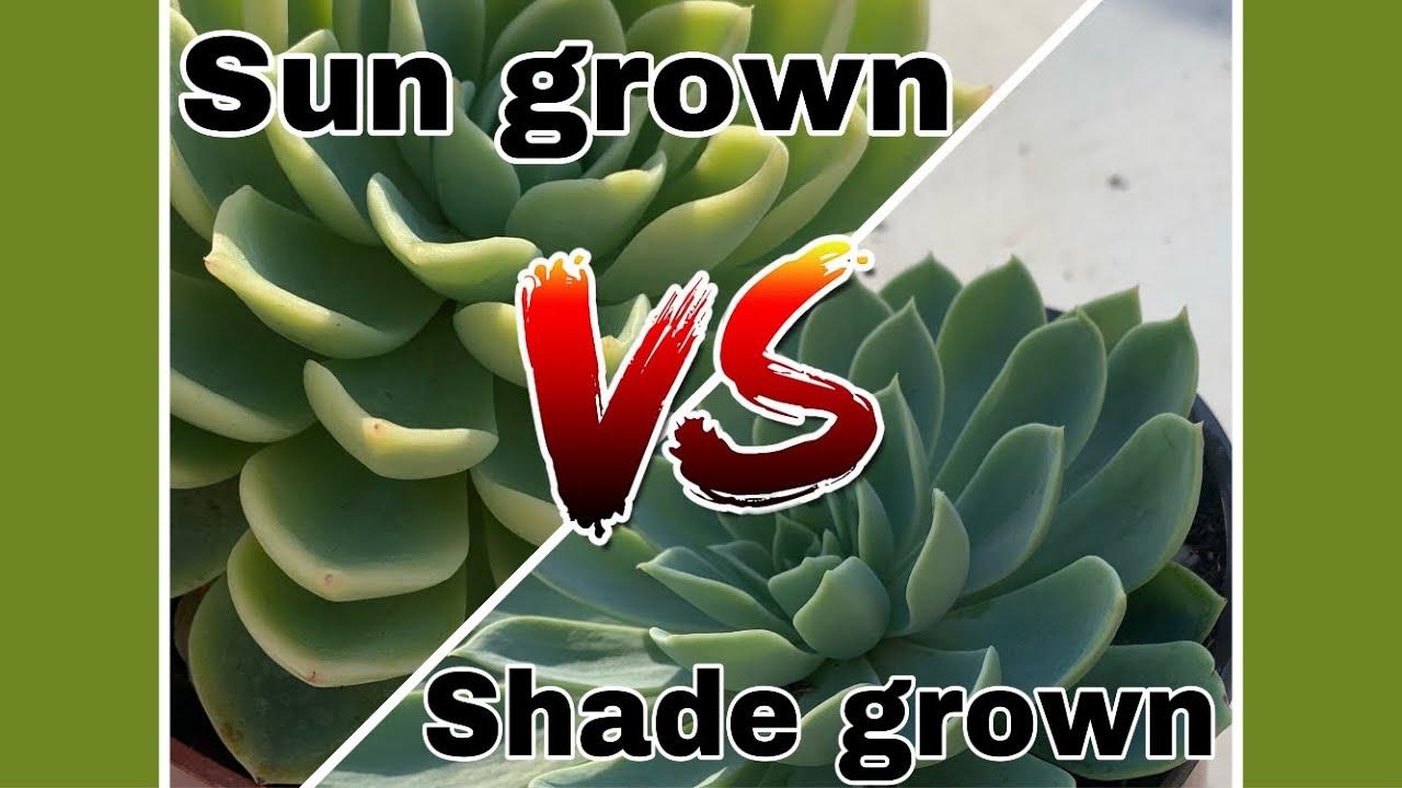 Sun Vs Shade Succulents Youtube