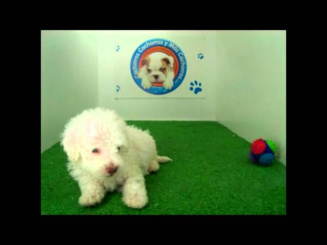 French Poodle Macho Videos De Viajes