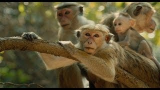 Indian Funny Video of monkey 2016 Whatsapp ❤ Try Not To Laugh Challenge ❤ It Happens Only In India ❤