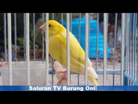 Download Lagu Kenari Af Warna Kuning Polos
