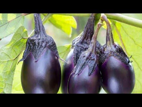 How to save eggplant Seeds