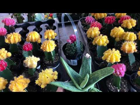 Lets shop for succulents at Home Depot 10/31/18