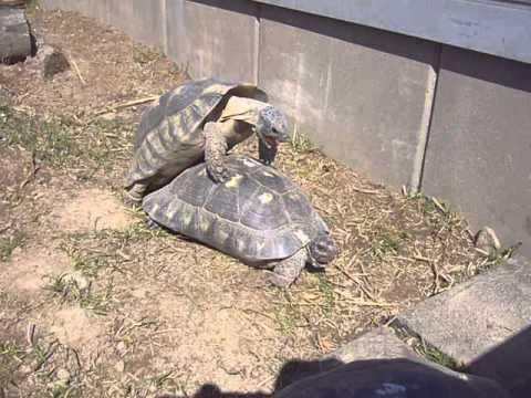 video želvy sex