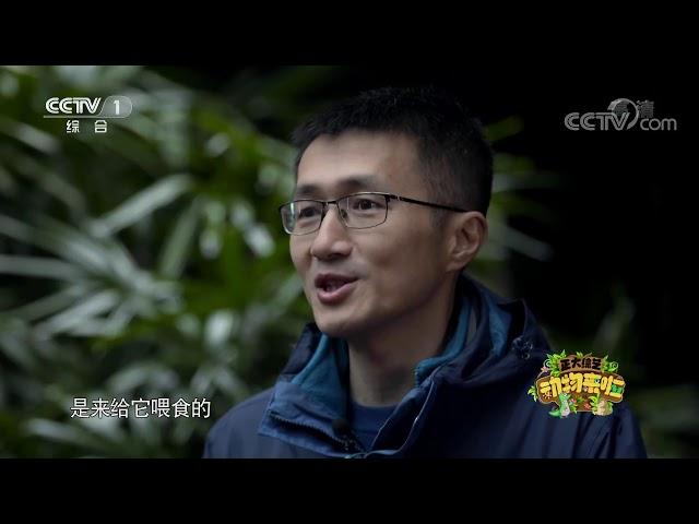 [正大综艺·动物来啦]视频中靛冠噪鹛的雏鸟为什么会一动不动?| CCTV