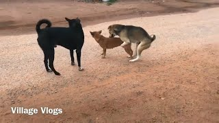 Summer StreetDogs!! Rhodesian Ridgeback Vs Golden Retriever in Village Vlogs
