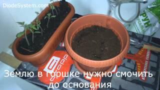 Эксперимент! Пикировка помидор - День 11(Проект