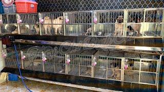 Bull pháp - Pug đực giống | Trại Chó Bình Cao | Liên hệ lấy giống : 0939.2222.11