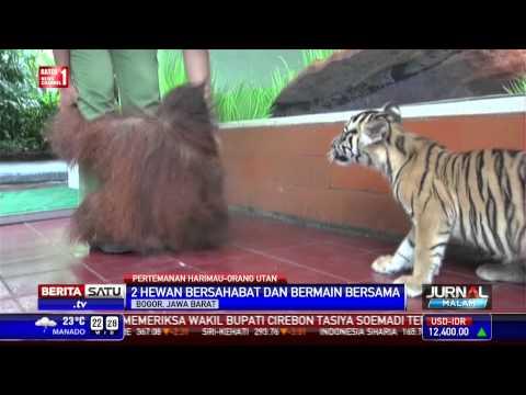 Kala Harimau dan Orangutan Berteman Baik
