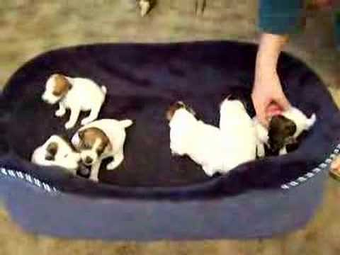 Six three week old Parson Jack Russell puppies waking up!