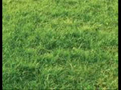 severina-trava zelena
