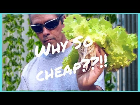 Why So Cheap? / Cheapest hydroponics 3 Q&A  / Lettuce ready 2 harvest / Easy DIY Hydroponics Systems
