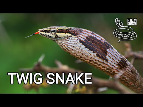 Deadly venomous Twig snake (Thelotornis capensis), snake puffing, African vine snake, rear fangs