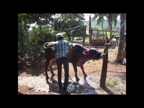 FILME A.D.B - Lida Na Fazenda| Doma de bovinos| Primeira parte