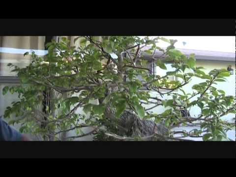 Bougainvillea bonsai pot youtube for Bougainvillea bonsai prezzo