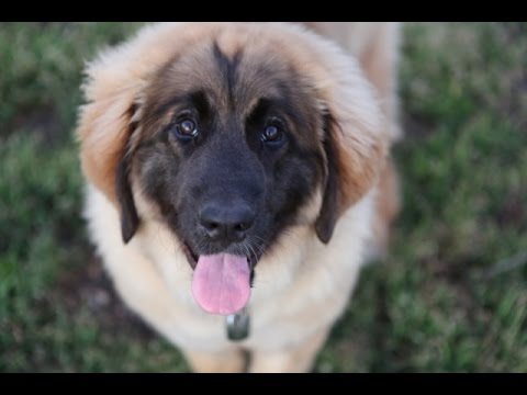 HOW TO ANNOY A LEONBERGER