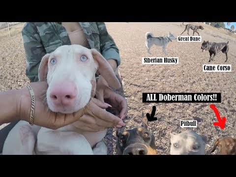 *MUST WATCH* Extremely Rare Dogs Inside Dog Park! (White Doberman, Cane Corso ect)