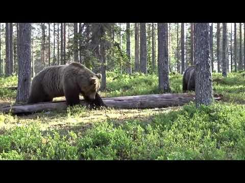 Медведь Тувы против медведя Иркутска