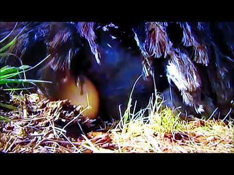 afrikai kakas videó