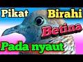 Perkutut Lokal Gacor Pikat Birahi Betina Pada Nyaut Tuh  Mp3 - Mp4 Download