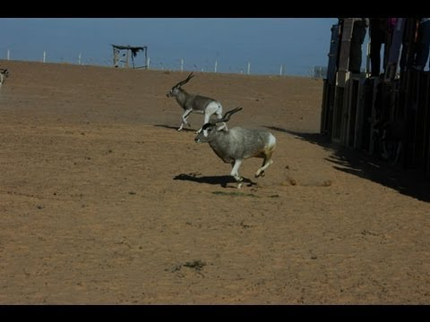 Addax & scimitar-horned oryx return to reserves in Tunisia
