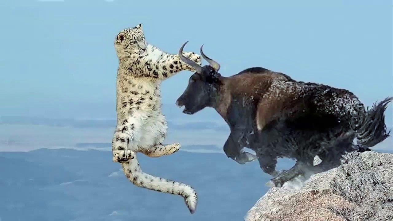 Amazing Mother Buffalo Save Baby From Leopard Hunting Attack. Bufalo vs Leopardo