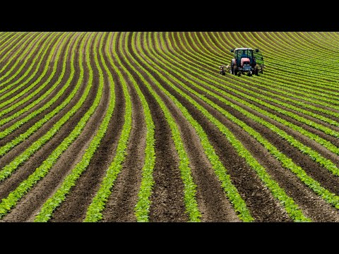 Amazing Bean Farming And Harvesting - Bean Cultivation Technology - Bean Growing And Processing