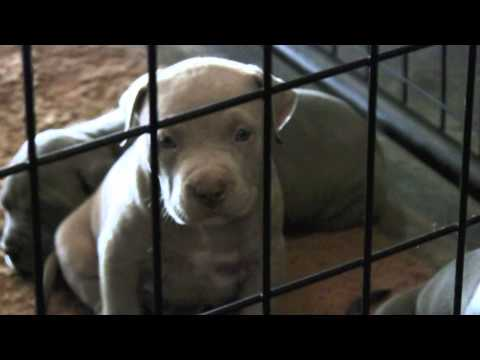 Blue Nose Pitbull Puppies For Sale, California