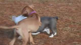 Rhodesian Ridgeback Jack Frost Playing With A Terrier By Billy Houston