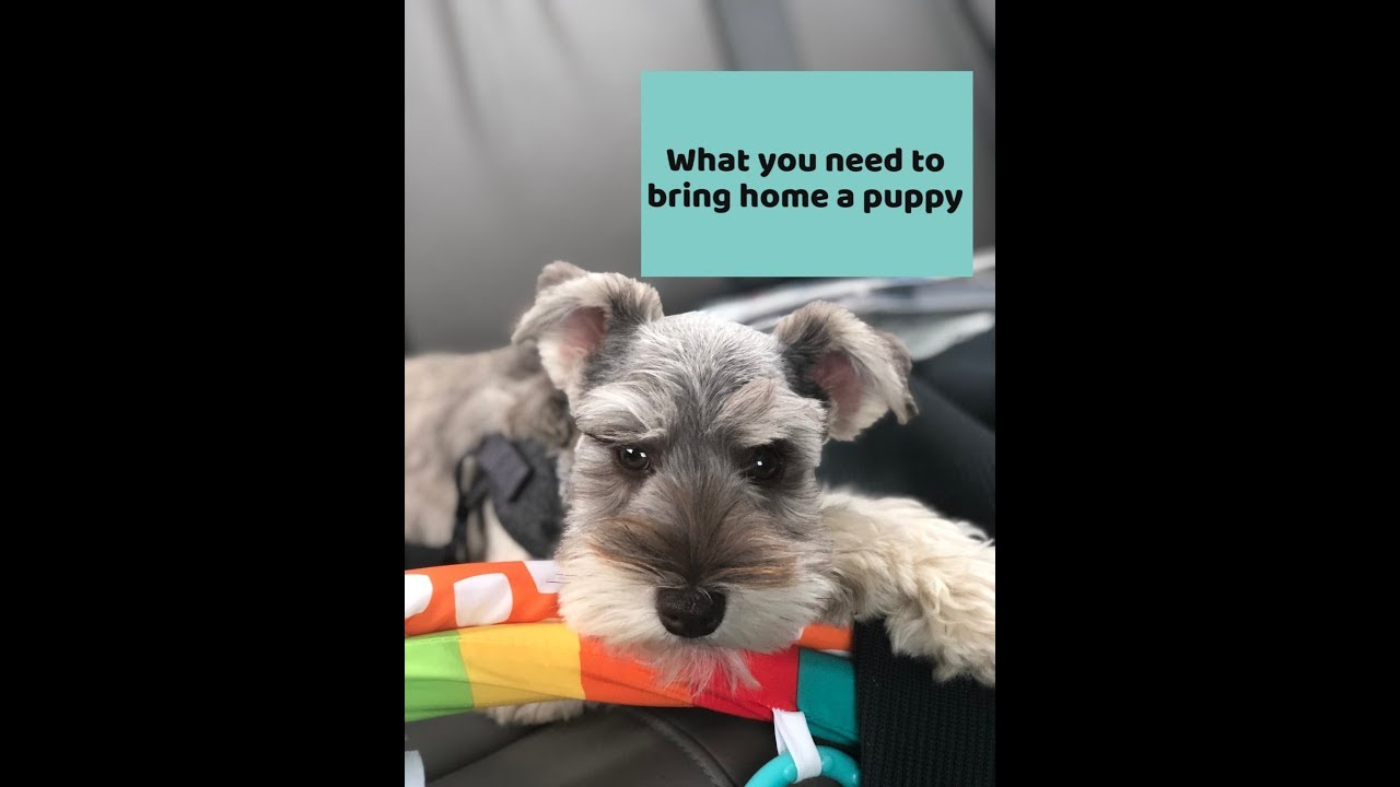Happily Ever After Schnauzers - Miniature Schnauzer Puppy