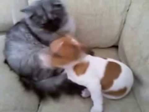 super-funny-jack-russell-puppy-with-cat
